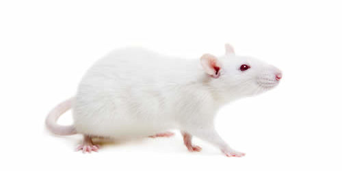 Superior Frozen Feeder Rats For Sale 500 2